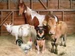 Против ограничения поголовья скота и птицы в личных подсобных хозяйствах (видео)