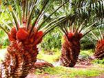 Яд для постсоветского пространства. Вред пальмового масла для здоровья человека.