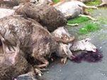 Неизвестные выбросили у Байкала полсотни мёртвых баранов