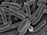 """Биологи превратили кишечные палочки в """"компакт-диски"""""""